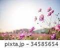 コスモス 秋桜 コスモス畑の写真 34585654