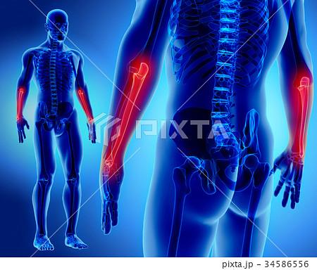 3D illustration of Ulna, medical concept. 34586556