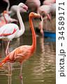 ベニイロフラミンゴ 34589171