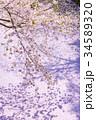 桜 春 ソメイヨシノの写真 34589320