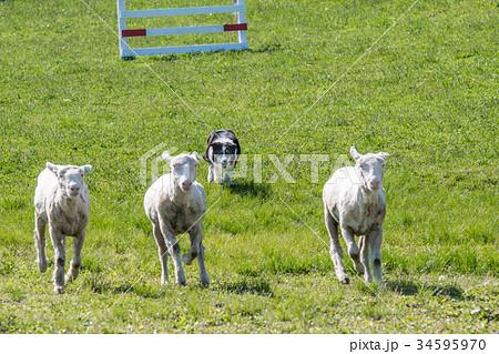 羊を追う牧羊犬 / 北海道の牧場 34595970