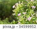 オシロイバナ 34599952
