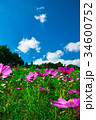 コスモス 秋桜 コスモス畑の写真 34600752