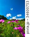 コスモス 秋桜 コスモス畑の写真 34600753