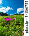 コスモス 秋桜 コスモス畑の写真 34600755