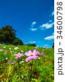 コスモス 秋桜 コスモス畑の写真 34600798