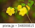 ヤマブキ 34600815