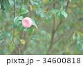 乙女椿 34600818
