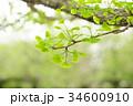 新緑の銀杏 34600910
