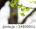 新緑の銀杏 34600911
