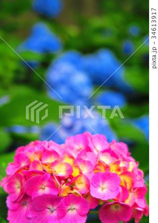 文京あじさいまつりのアジサイの花(西洋アジサイ) 34613917
