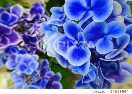 文京あじさいまつりのアジサイの花(西洋アジサイ・ガクアジサイなど) 34613944