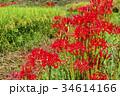 曼殊沙華 花 彼岸花の写真 34614166