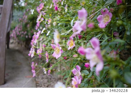 小さなバラの垣根 34620228