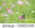 アゲハチョウ コスモス 蝶の写真 34622160