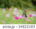 アゲハチョウ コスモス 蝶の写真 34622163