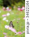 アゲハチョウ コスモス 蝶の写真 34622164