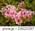 美しいツツジの花 34622397