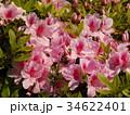美しいツツジの花 34622401