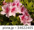 美しいツツジの花 34622405