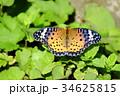 ツマグロヒョウモン 34625815