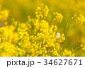 菜の花 花 春の写真 34627671
