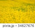 菜の花 花 花畑の写真 34627676