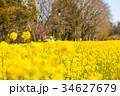 菜の花 花畑 芝山の写真 34627679