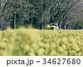 菜の花 花畑 芝山の写真 34627680