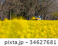 菜の花 花畑 芝山の写真 34627681