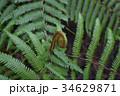 植物 シダ植物 ぜんまいの写真 34629871