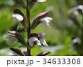 葉薊 アカンサス キツネノマゴ科ハアザミ属の写真 34633308