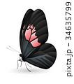 チョウ 蝴蝶 蝶のイラスト 34635799