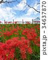 曼珠沙華 彼岸花 秋の写真 34637870