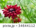 花 ルドベキア 赤褐色の写真 34644112
