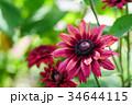 花 ルドベキア 赤褐色の写真 34644115