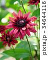 植物 花 ルドベキアの写真 34644116