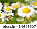 蜂 野菊の花 花の写真 34646607