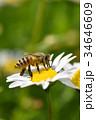 蜂 野菊の花 花の写真 34646609