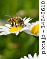 蜂 野菊の花 花の写真 34646610