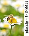 蜂 野菊の花 花の写真 34646611