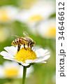 蜂 野菊の花 花の写真 34646612