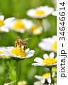 蜂 花 働き蜂の写真 34646614