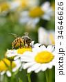 蜂 野菊の花 花の写真 34646626