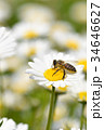 蜂 野菊の花 花の写真 34646627