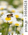 蜂 野菊の花 花の写真 34646628