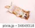 ロングコートチワワ チワワ 犬の写真 34649318
