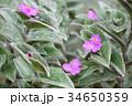 ツユクサの仲間「トラデスカンティア・シラモンタナ」の可愛い花たち-1 34650359
