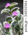 ツユクサの仲間「トラデスカンティア・シラモンタナ」の可愛い花たち-3 34650364