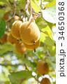 果物 果実 キウイの写真 34650368
